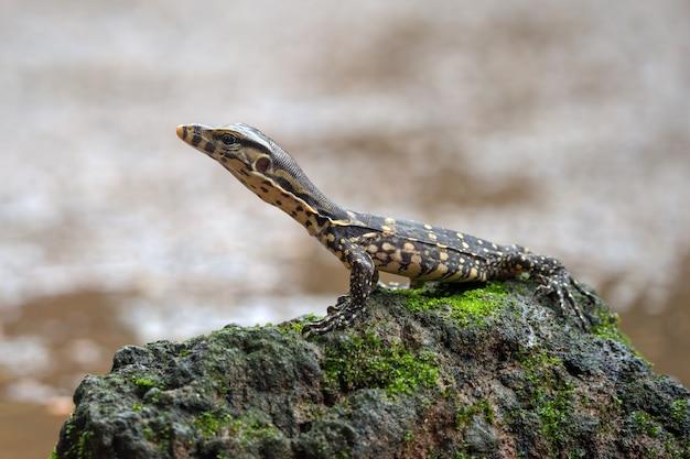 Kleiner asiatischer wassermonitor in der nähe des teiches