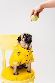 Kleiner aufmerksamer hund in der kleidung, die auf stuhl sitzt