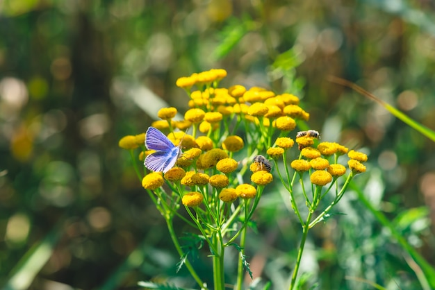 Kleiner blauer schmetterling auf gelber wilder blume mit kopienraum auf bokeh