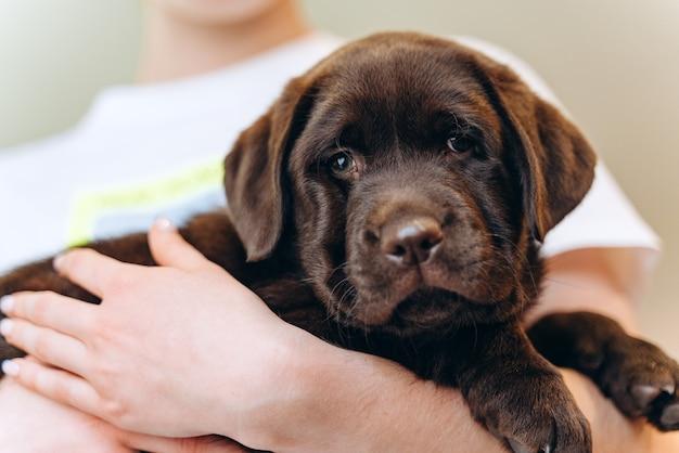 Kleiner brauner hund labrador welpe auf händen, nahaufnahmefoto