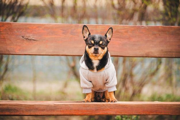 Kleiner chihuahua-hund auf bank. nettes haustier im freien. chihuahua im park in kleidung.