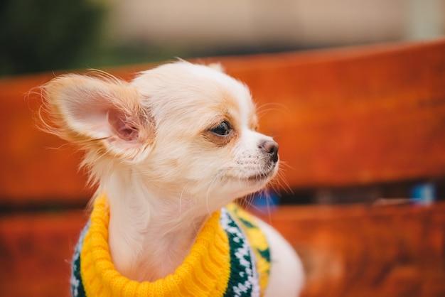 Kleiner chihuahua-hund auf bank. nettes haustier im freien. chihuahua welpe im park in kleidern.