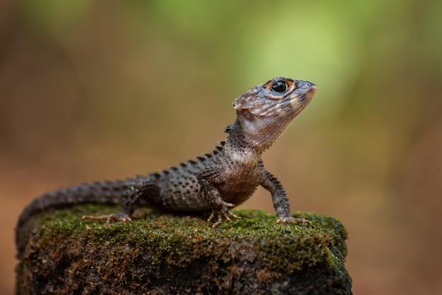 Kleiner drache, krokodilskink