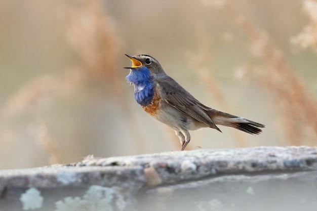 Kleiner dunkelgrauer und blauer vogel, der singt und auf einem ast sitzt
