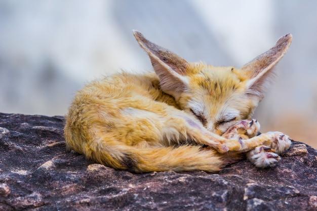 Kleiner fennek fuchs schlafend, natur