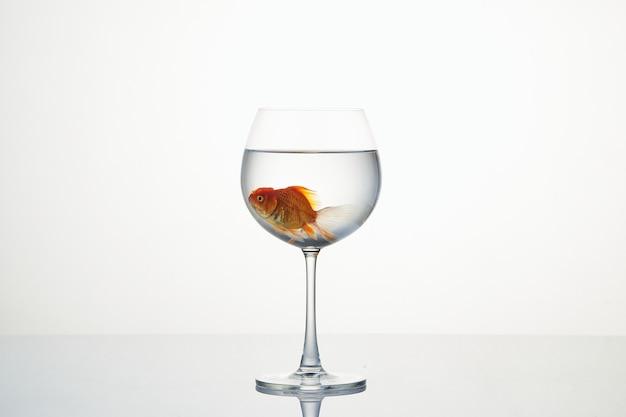 Kleiner goldfisch, der in weinglas wasser sich bewegt