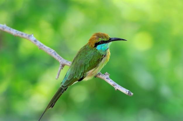 Kleiner grüner bienenfresser im yala west nationalpark, sri lanka