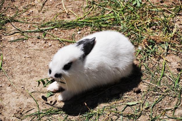 Kleiner hase. kaninchen mit schwarzen ohren auf dem boden. sommer, trockenes land.