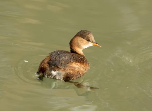 Kleiner haubentaucher im wintergefieder schwimmt im wasser.