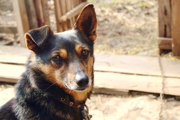 Kleiner hund der farbe deutscher schäferhund nahaufnahme an einer kette mit einem halsband in einem landhaus.