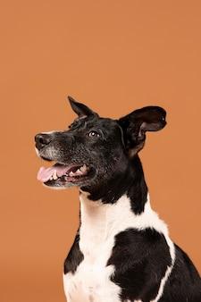 Kleiner hund, der in einem studio entzückend ist
