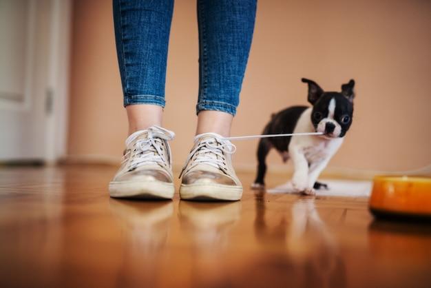 Kleiner hund, der schnürsenkel von mädchenschuhen im haus zieht. boston terrier.