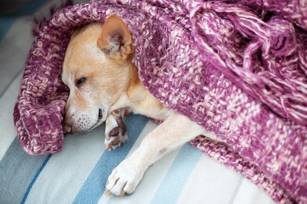 Kleiner hund, der zu hause auf dem bett bedeckt mit decke schläft. chihuahua ruht sich im bett aus und ist in fauler zeit in eine decke gewickelt. kleiner schläfriger chihuahuahund schläft oder nickerchen machend im schlafzimmer. konzept von haustieren.