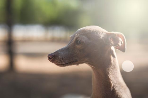 Kleiner hund des italienischen windhunds im wald