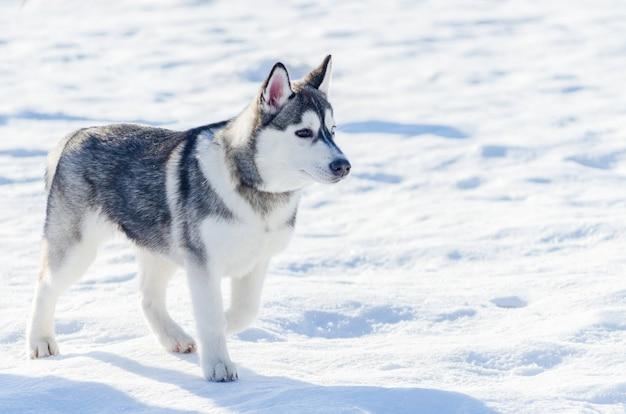 Kleiner hund des sibirischen huskys gehen im freien