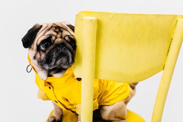 Kleiner hund in der gelben klage, die auf stuhl sitzt