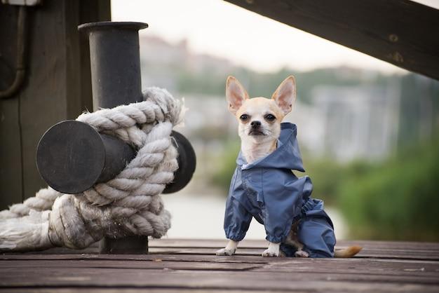 Kleiner hund in klamotten spazieren