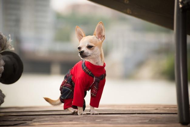 Kleiner hund in klamotten spazieren.