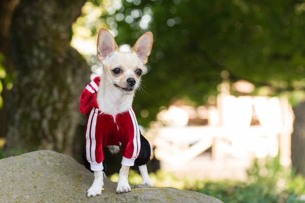 Kleiner hund in kleidung auf einem spaziergang.