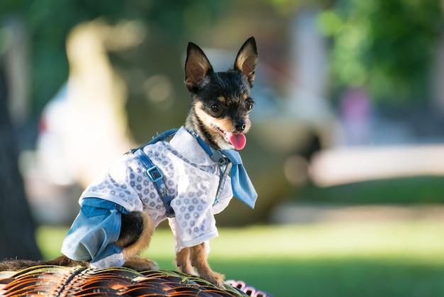 Kleiner hund in kleidung