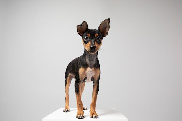 Kleiner hund ist ein entzückendes porträt in einem studio
