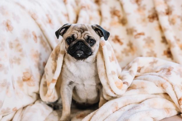 Kleiner hund mit bettdecke