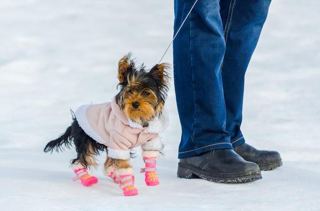 Kleiner hund yorkshires terrier und sein inhaber, schneewinter