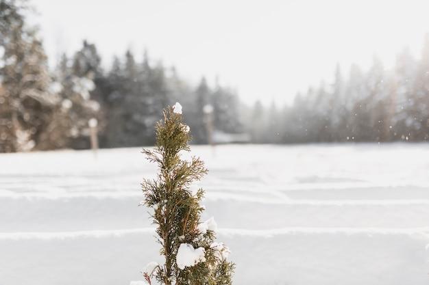 Kleiner immergrüner baum im winter