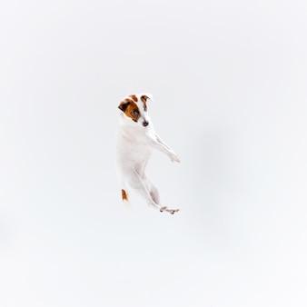 Kleiner jack russell terrier auf weiß