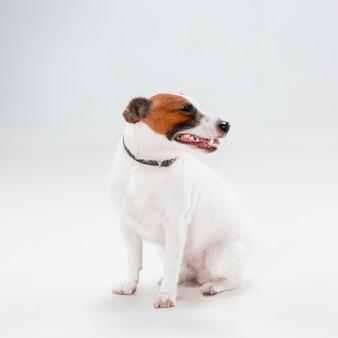 Kleiner jack russell terrier, der auf weiß sitzt
