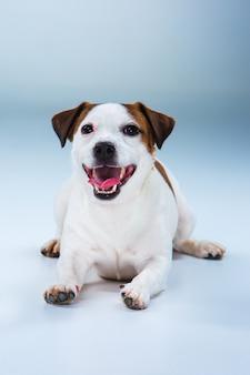 Kleiner jack russell terrier sitzt auf grau