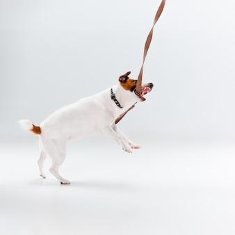 Kleiner jack russell terrier