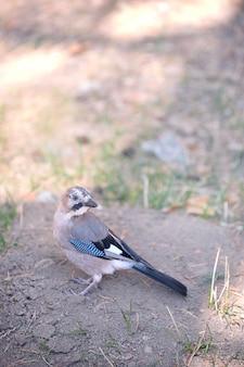 Kleiner jaybird, der nach lebensmittel sucht