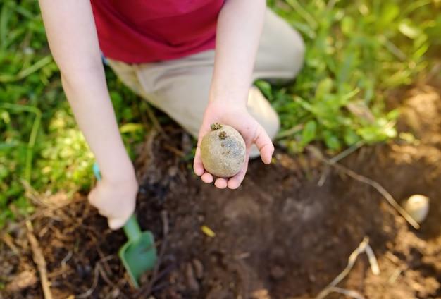 Kleiner junge, der kartoffeln im hinterhof pflanzt