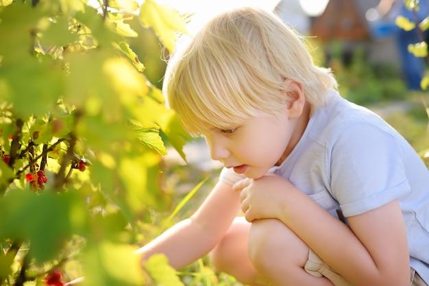 Kleiner junge, der rote johannisbeeren in einem hausgarten am sonnigen tag auswählt
