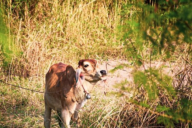 Kleiner junger büffel, der neben seiner mutter in einem schlamm steht. büffel immer noch berühmt auf dem land