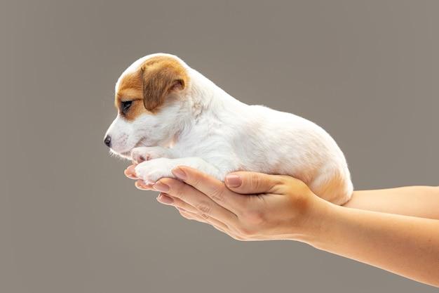 Kleiner junger hund, der fröhlich aufwirft.