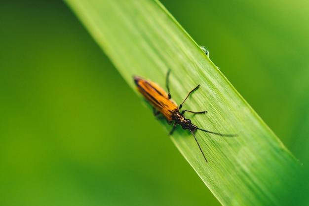 Kleiner käfer cerambycidae auf klarem glänzendem grünem gras