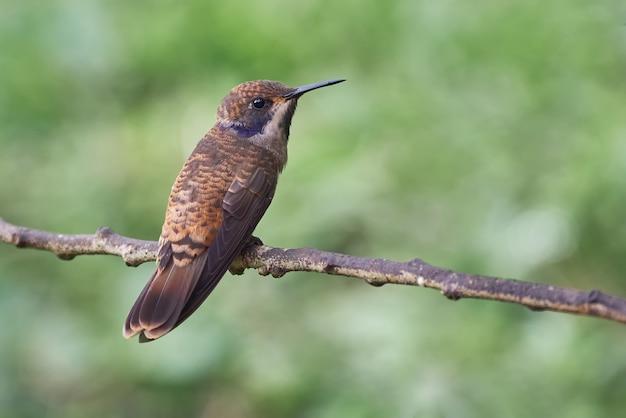 Kleiner kolibri, der auf einem horizontalen zweig aufwirft