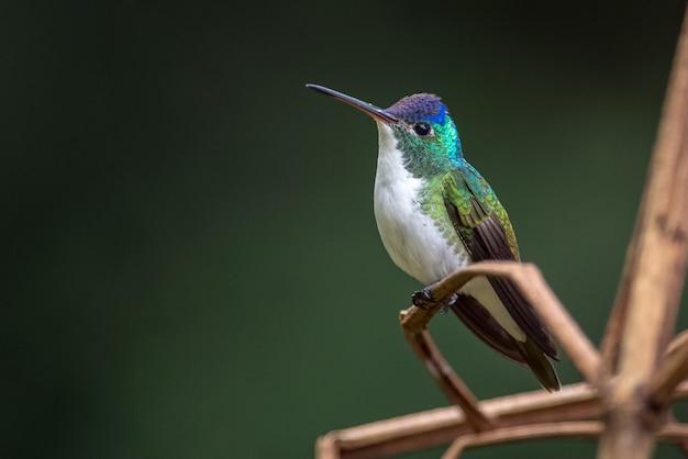 Kleiner kolibri, der auf einigen trockenen zweigen ruht