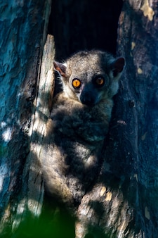 Kleiner lemur versteckte sich in der mulde eines baumes und schaut zu