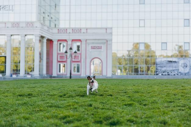 Kleiner lustiger hund auf dem grünen gras gegen spiegelgebäude. kleines jack russel terrier haustier, das draußen im park spielt. hund und spielzeug im freien.