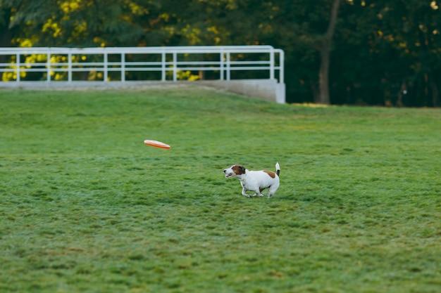 Kleiner lustiger hund, der orange flugscheibe auf dem grünen gras fängt. kleines jack russel terrier haustier, das draußen im park spielt. hund und spielzeug im freien.