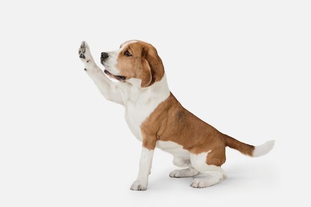 Kleiner lustiger hundebeagle, der lokalisiert über weißer wand aufwirft