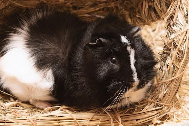 Kleiner netter schwarzweiss-meerschweinchenabschluß oben.