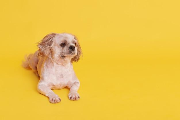 Kleiner niedlicher pekinesischer hund, der auf boden lokalisiert auf gelb liegt