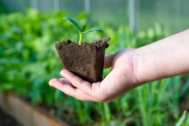 Kleiner pflanzenspross in bio-tasse bereit, im gewächshaus gepflanzt zu werden.