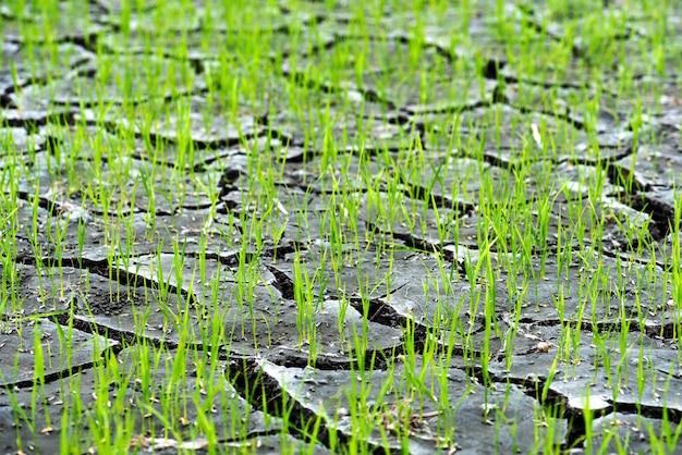 Kleiner reis wächst aus dicht bepflanzten ebenen und niederschlag und der boden ist gebrochen