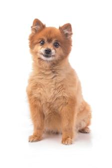 Kleiner roter hund liegt auf einem weißen hintergrund