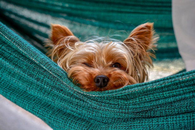 Kleiner schlafender yorkshire-hund, fauler netter hund, der auf einer hängematte stillsteht